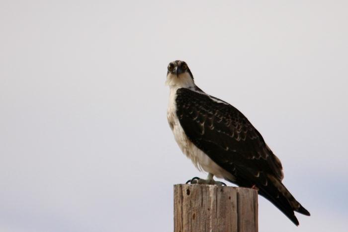 Osprey (76) (1024x684)