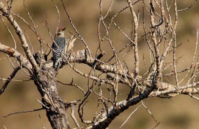 Red-bellied Woodpecker (11) (1024x668)
