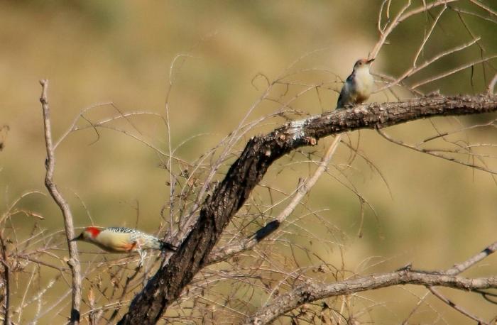 Red-bellied Woodpecker (8) (1024x671)