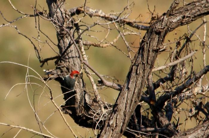 Red-bellied Woodpecker (9) (1024x675)