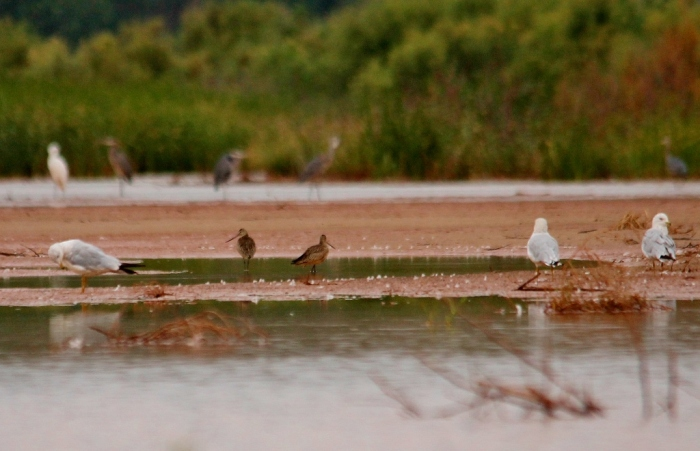 Ring-billed Gull, Long-billed Dowitcher, Forster's Tern (2) (1024x660)