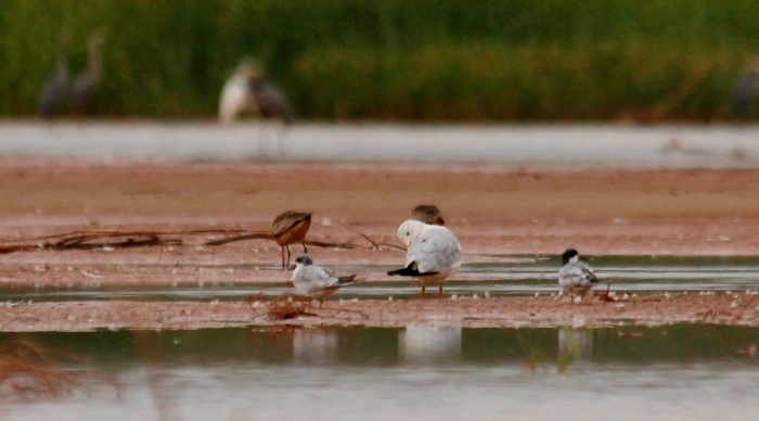 Ring-billed Gull, Long-billed Dowitcher, Forster's Tern (3) (1024x568)