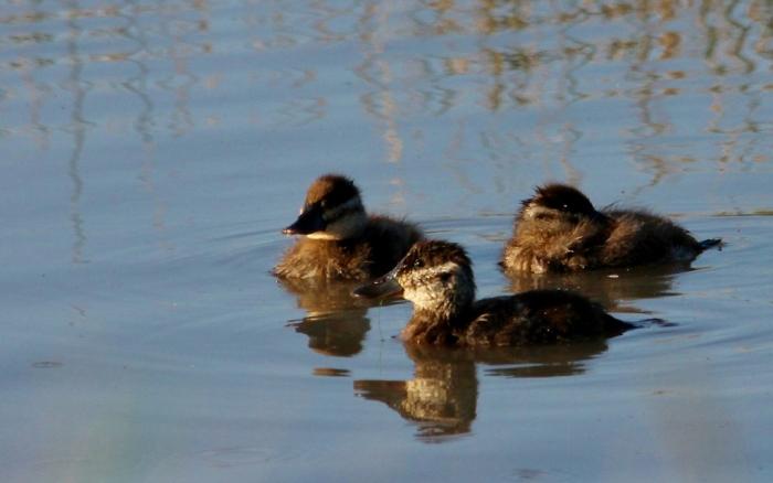 Ruddy Duck (71) (1024x641)