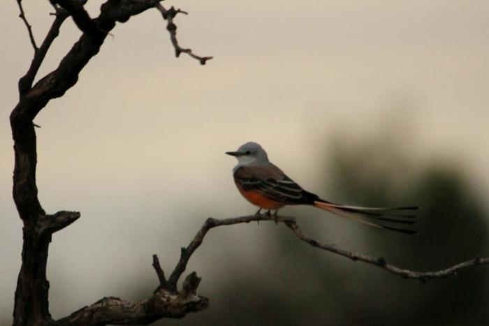 Scissor-tailed Flycatcher (1) (1024x684)