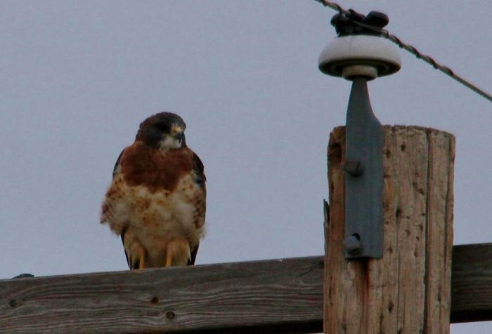 Swainson's Hawk (48) (1024x697)