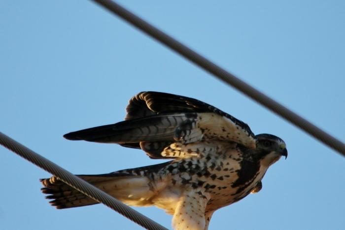 Swainson's Hawk (49) (1024x684)