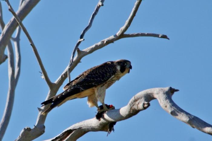 Swainson's Hawk (52) (1024x684)