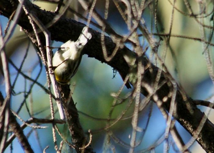 Townsend's Warbler (1) (1024x733)