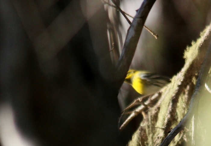 Townsend's Warbler (2) (1024x712)