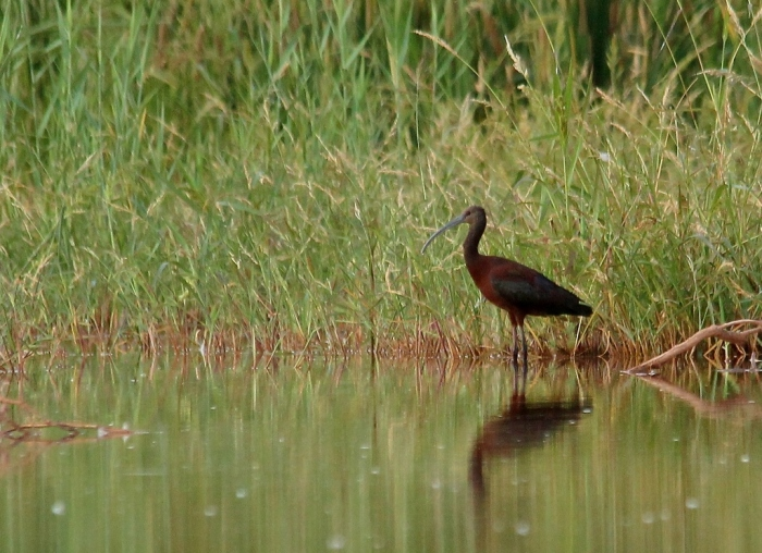 White-faced Ibis (22) (1024x744)