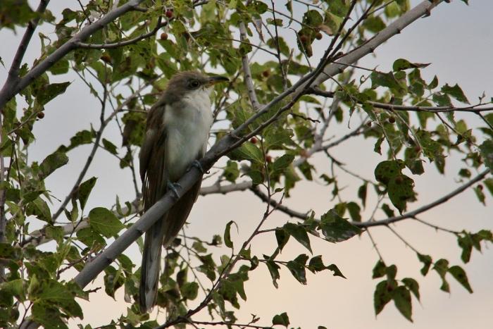 Yellow-billed Cuckoo (31) (1024x684)