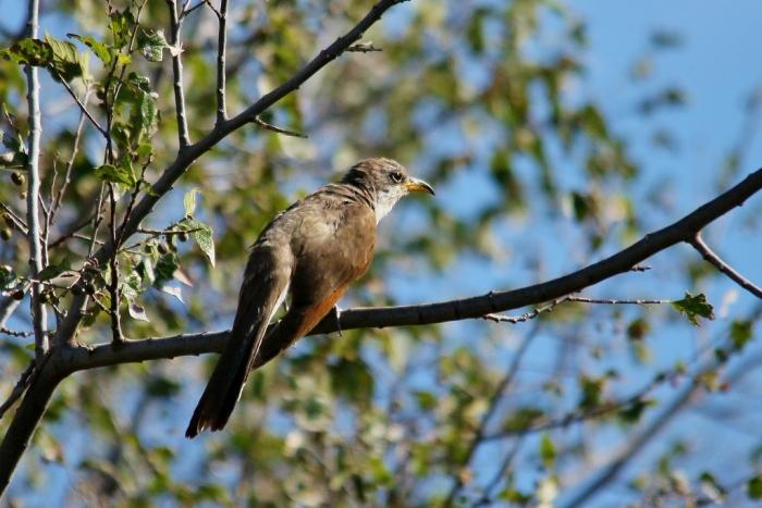 Yellow-billed Cuckoo (36) (1024x684)