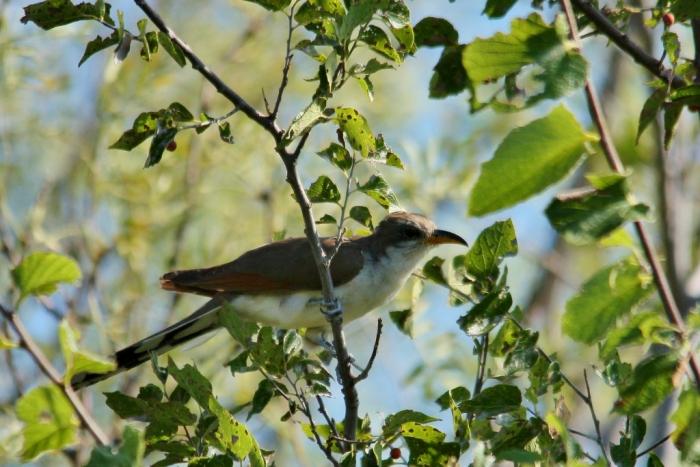 Yellow-billed Cuckoo (40) (1024x684)