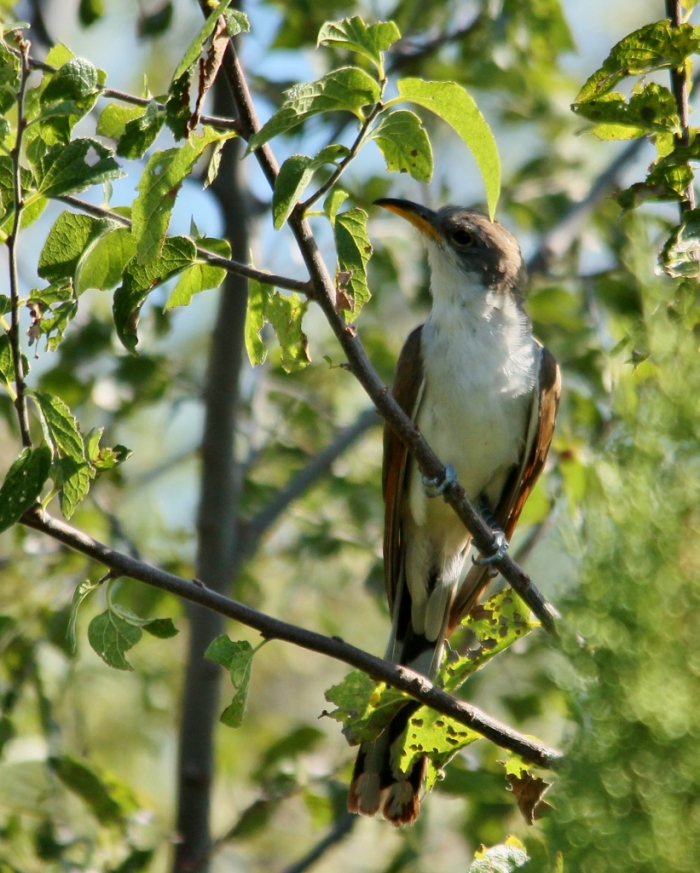 Yellow-billed Cuckoo (42) (821x1024)