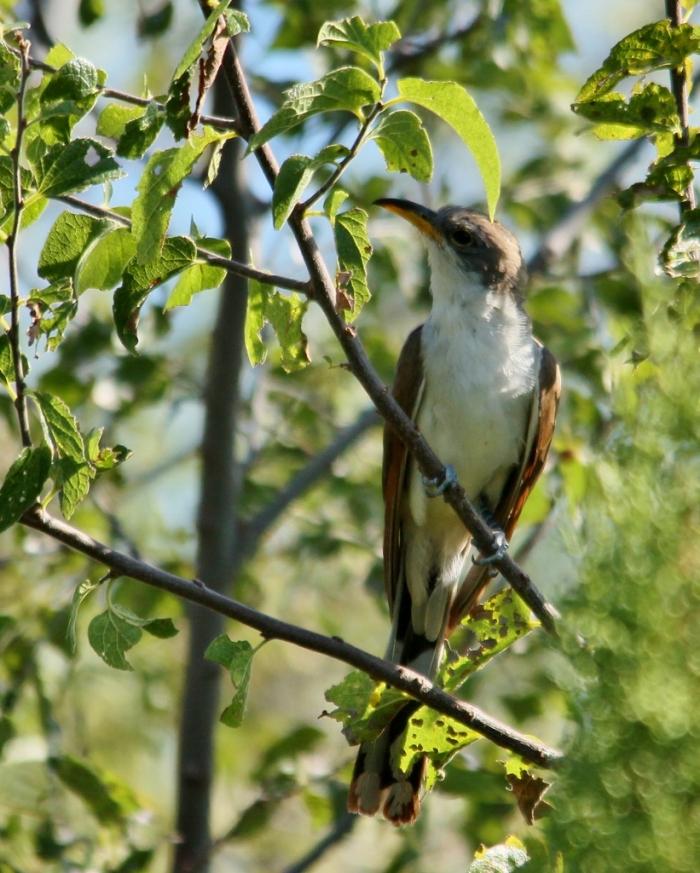 Yellow-billed Cuckoo (42) (821x1024)