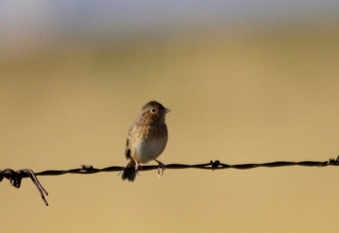 Grasshopper Sparrow (40) (1024x705)