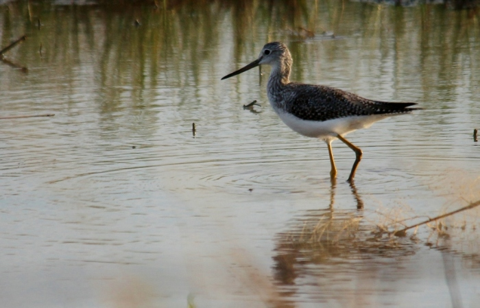 Greater Yellowlegs (68) (1024x658)