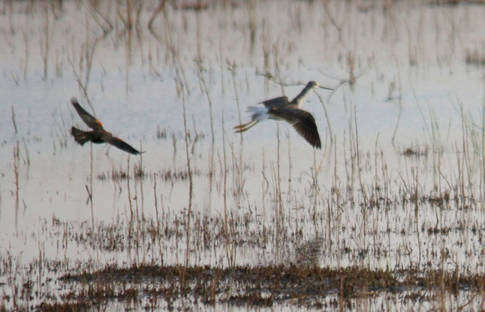 Greater Yellowlegs (72) (1024x660)