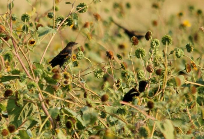 Red-winged Blackbird (88) (1024x699)