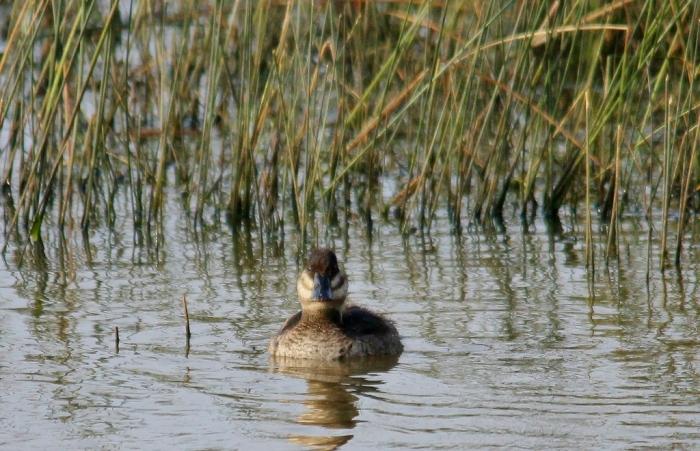 Ruddy Duck (74) (1024x660)