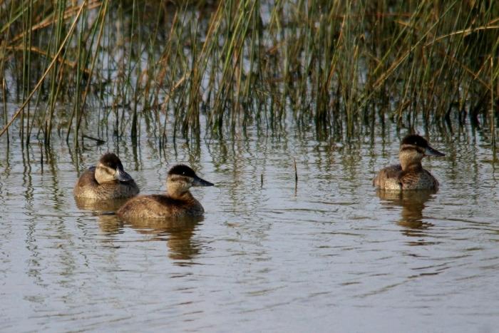 Ruddy Duck (76) (1024x684)