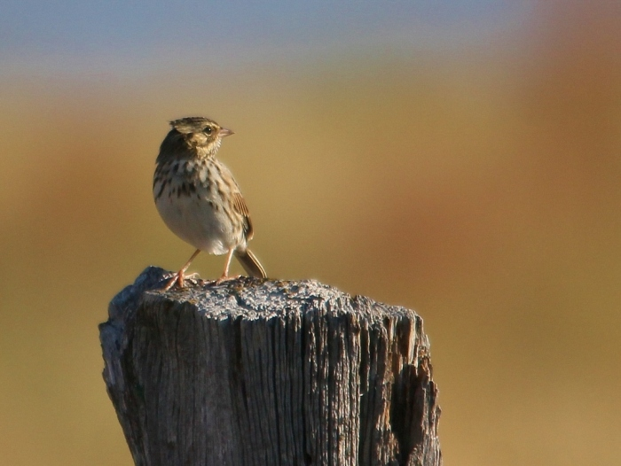 Savannah Sparrow (1024x660) (5)