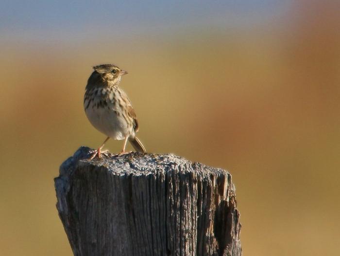 Savannah Sparrow (1024x660) (5)