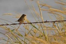 Savannah Sparrow (1024x660) (7)