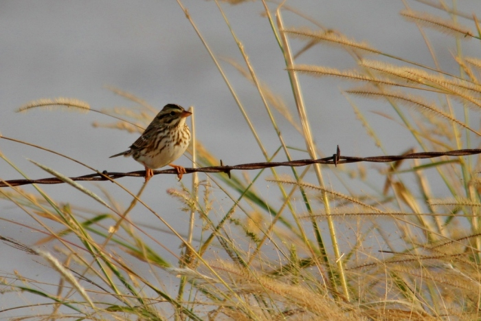 Savannah Sparrow (1024x660) (7)