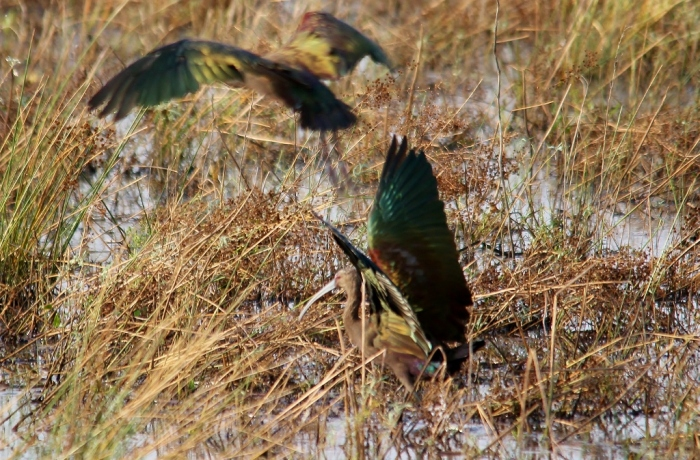 White-faced Ibis (28) (1024x674)