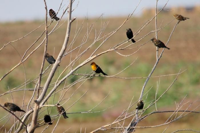 Yellow-headed Blackbird (37) (1024x684)