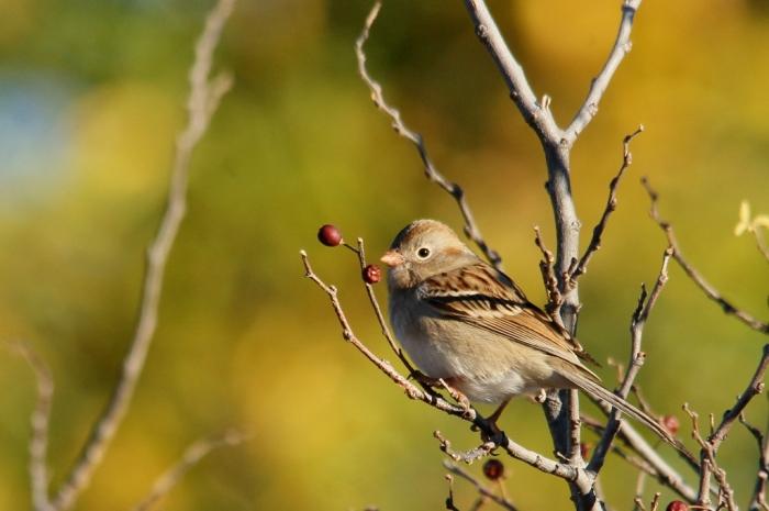 Field Sparrow (1) (1024x681)