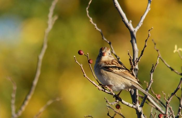 Field Sparrow (43) (1024x665)