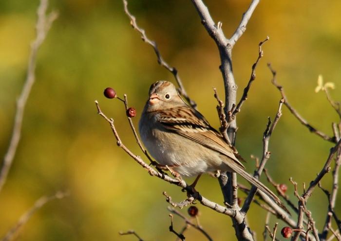 Field Sparrow (45) (1024x727)