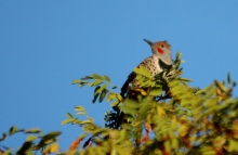 Northern Flicker (red-shfted) (2) (1024x666)