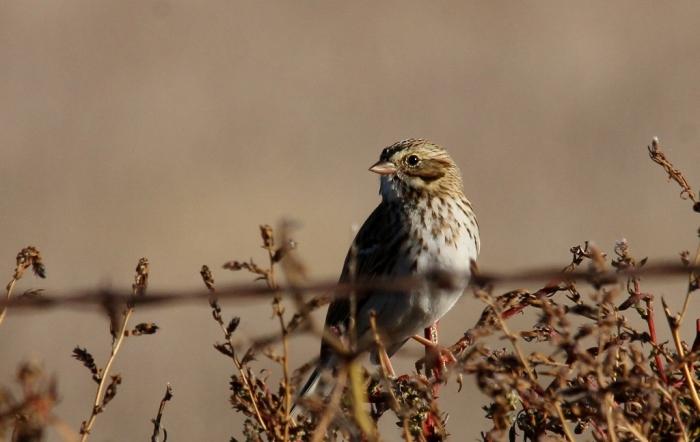 Vesper Sparrow (20) (1024x647)
