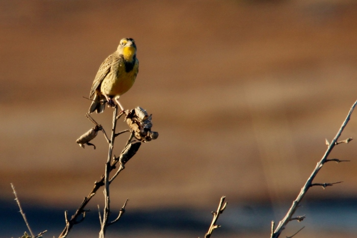 Western Meadowlark (54) (1024x683)