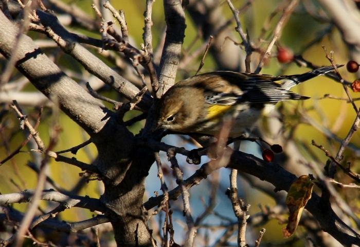 Yellow-rumped Warbler (Myrtle) (17) (1024x703)