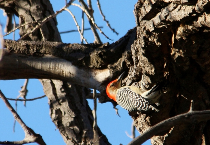 Red-bellied Woodpecker (19) (1024x712)