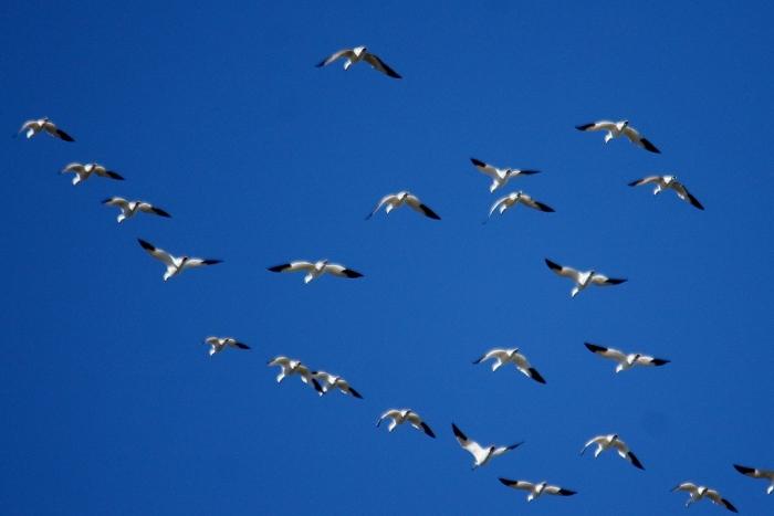Snow Goose (9) (1024x684)