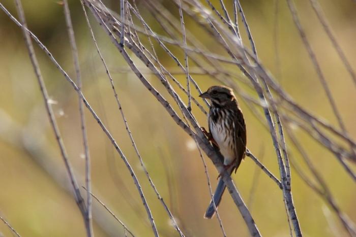 Song Sparrow (61) (1024x684)
