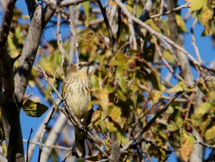 Yellow-rumped warbler (15) (1024x772)