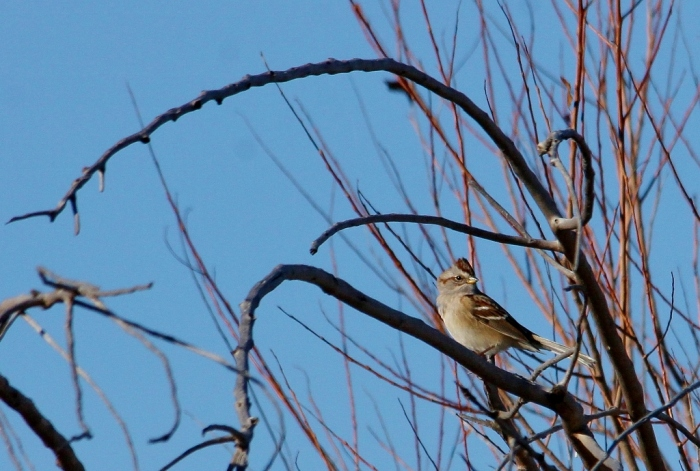 American Tree Sparrow (1) (1024x690)