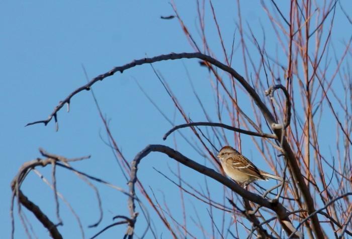 American Tree Sparrow (11) (1024x698)