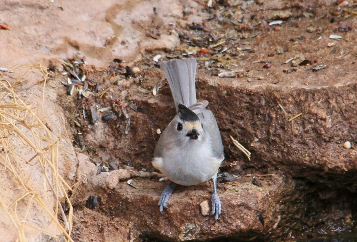 Black-crested Titmouse (1) (1024x696)