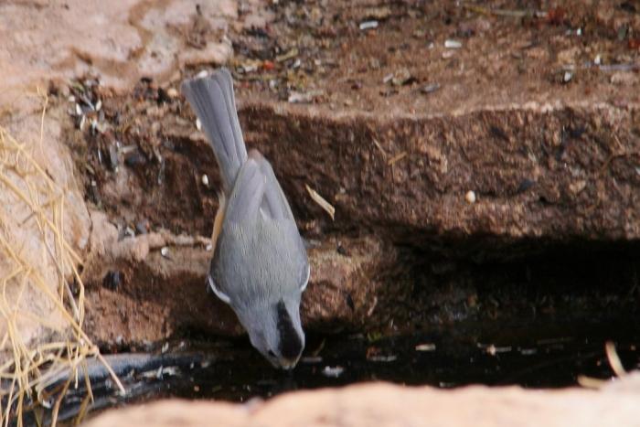 Black-crested Titmouse (8) (1024x684)