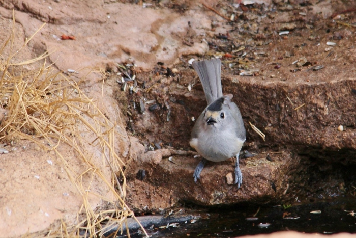 Black-crested Titmouse (9) (1024x684)