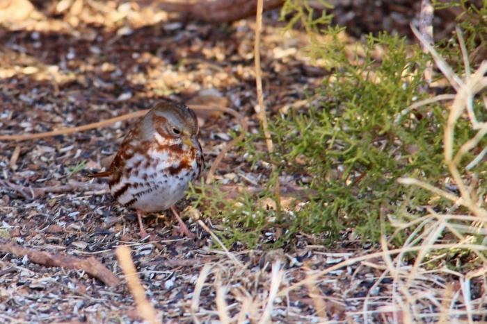 Fox Sparrow (2) (1024x684)