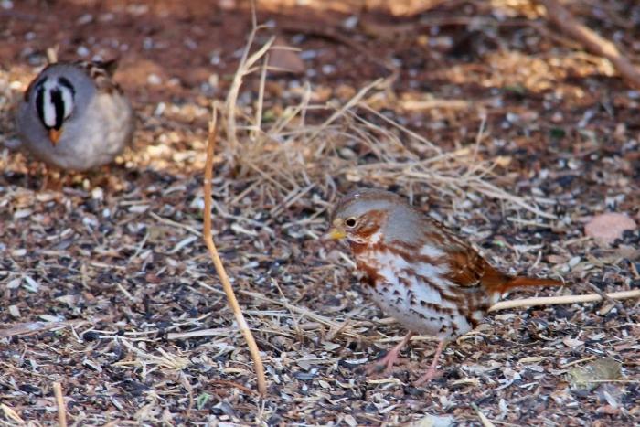Fox Sparrow (3) (1024x684)