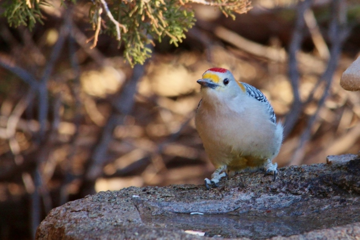 Golden-fronted Woodpecker (1) (1024x684)